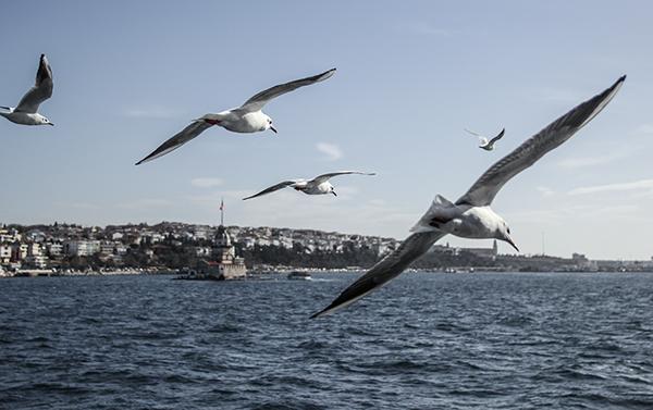seagull seagulls istanbul kız kulesi city Urban sea maiden's tower animal Animal Life bird birds SKY