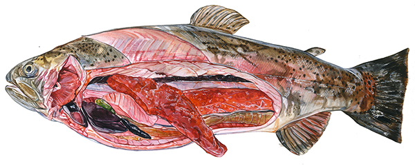 RAINBOW TROUT on Behance