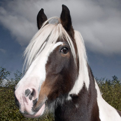 animals horses chickens Portrature