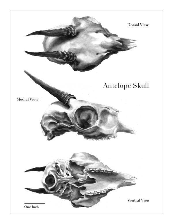 Antelope Skull Drawing The Tonal Drawings Were Made