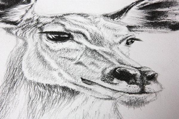 Dessin de gazelle on behance - Gazelle dessin ...