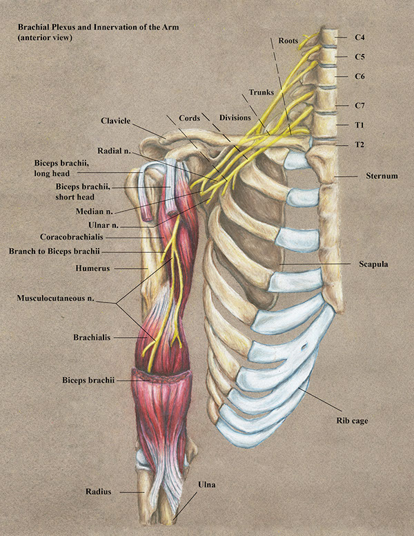 Musculocutaneous Nerve On Behance