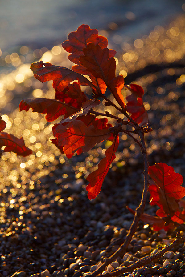 Nature sunset wine olives water leaves photos
