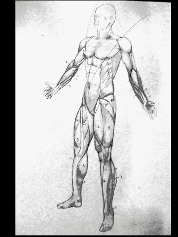 muscular system study on risd portfolios, Muscles