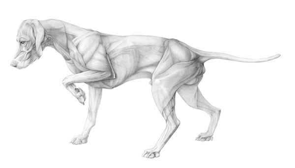 Anatomy Of A Dog On Behance