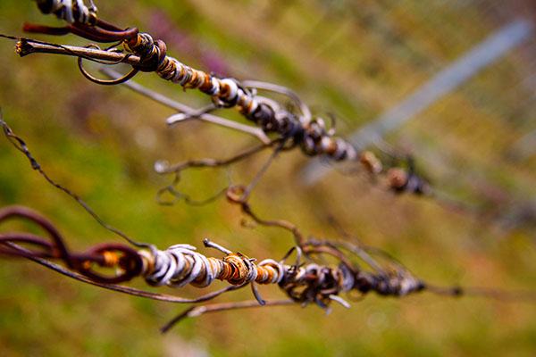 tendrils  Vrilles  wine wine photography Vineyards
