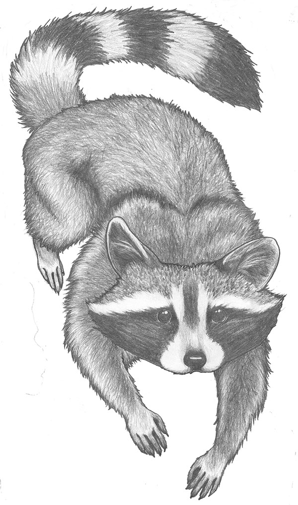 how to draw a realistic raccoon