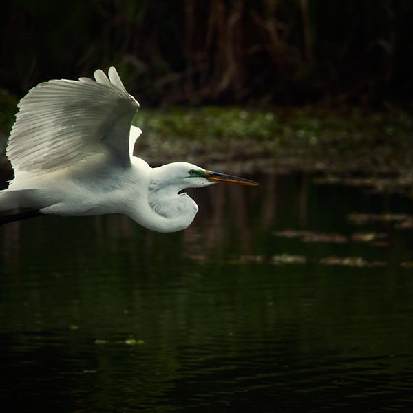 egret  wetlands   bird High Contrast  water bird  wildlife  nature  conservation