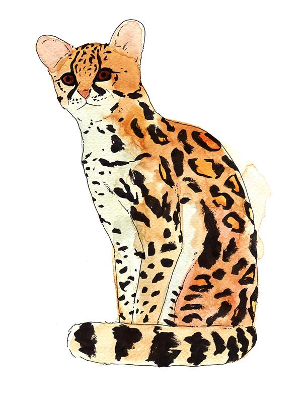 Margay Cat Drawing Margay