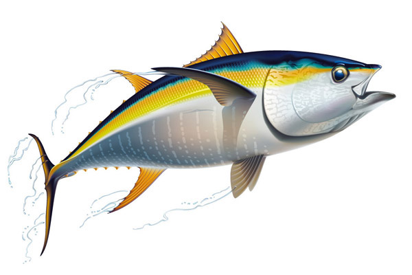Drawing Of A Yellowfin Tuna On Behance