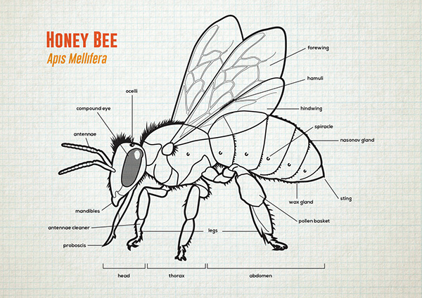 Anatomy of bees