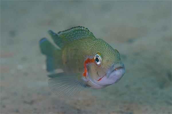 Lake tanganyika fish on behance for Lake tanganyika fish