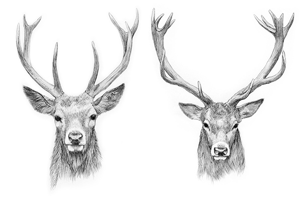 Antelope Mammal additionally Stock Illustration Head Deer Ink Line Art Black White Illustration Horns Hand Drawn Sketch Painting Design Element Useful Logo Vector Image49030936 besides Diy Stag Head Silhouette Art likewise Hunting Coloring Pages Deer Pictures To Print Marvelous Printable Gallery Ideas free Deer Coloring Page Deer Coloring Pages Free Deer Coloring Pages Deer Coloring Pages as well 23 Deer Antler Tattoos Designs And Stencils. on drawn deer antlers