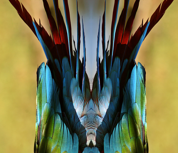 Mirrored image birds tail  feathers color