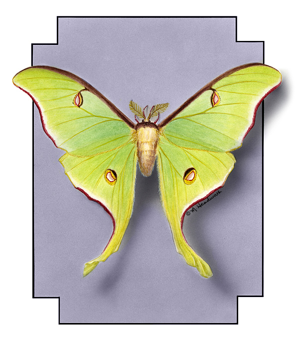 Luna moth scientific illustration - photo#19