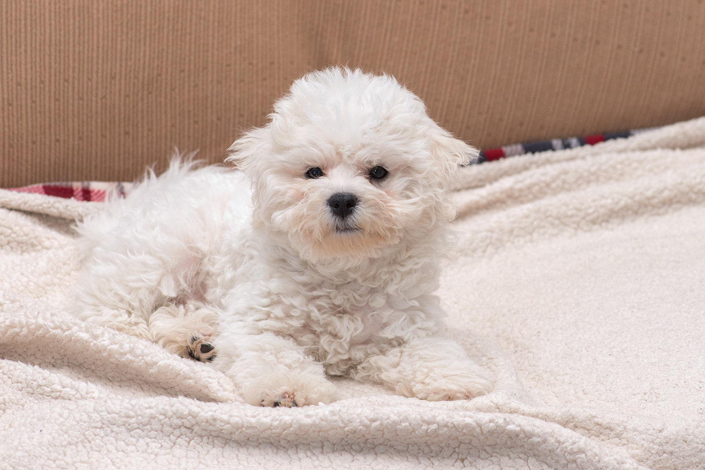 Bichon Frise Puppy 11-14 weeks on Behance