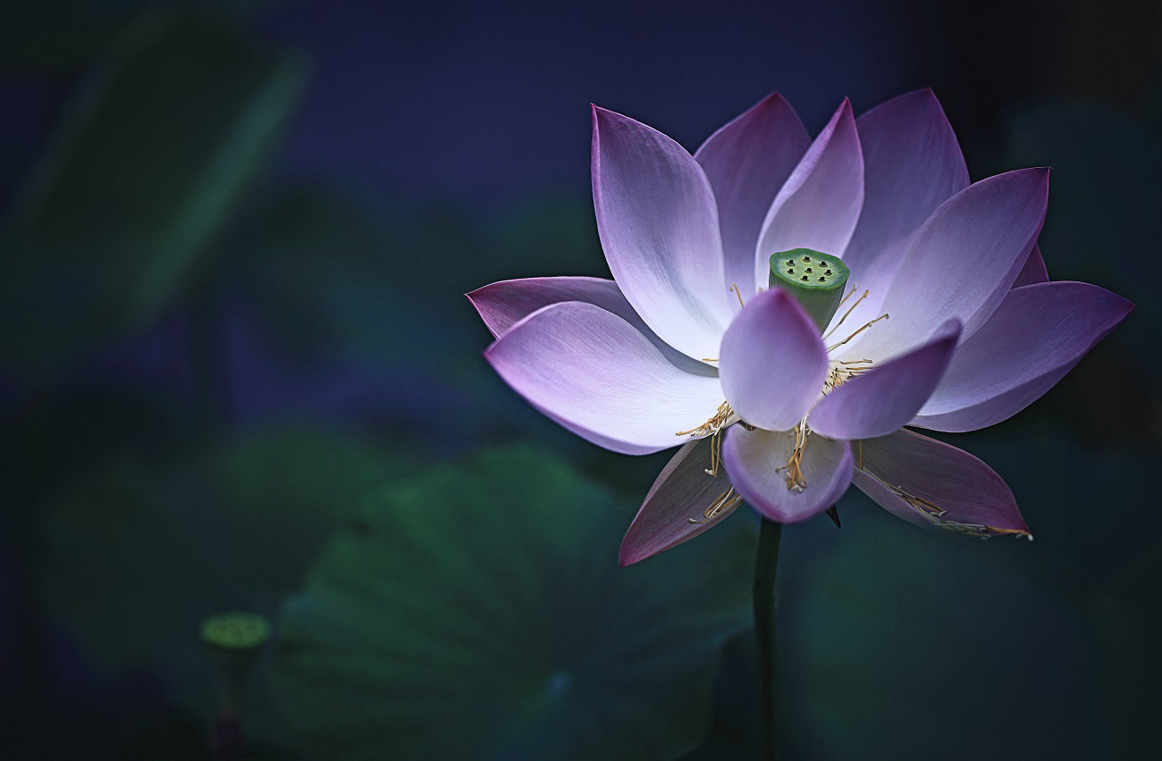 Poem of the lotus on behance izmirmasajfo