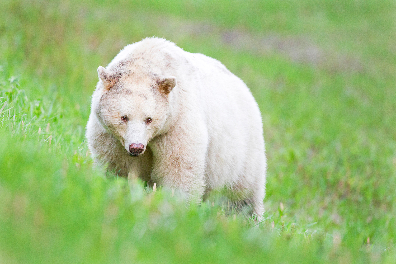 Kermode Bear (or Spirit Bear) near Terrace, BC