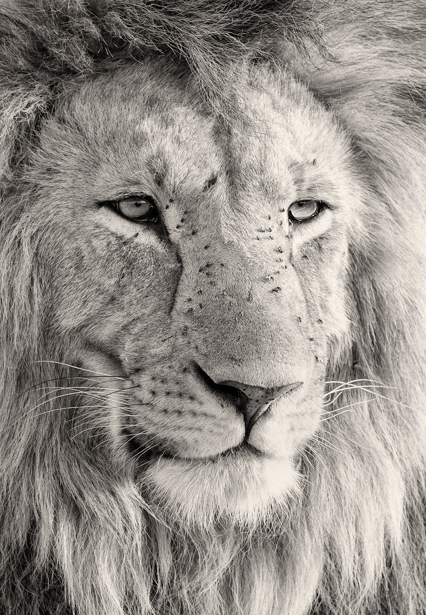 A close up portrait of a male lion