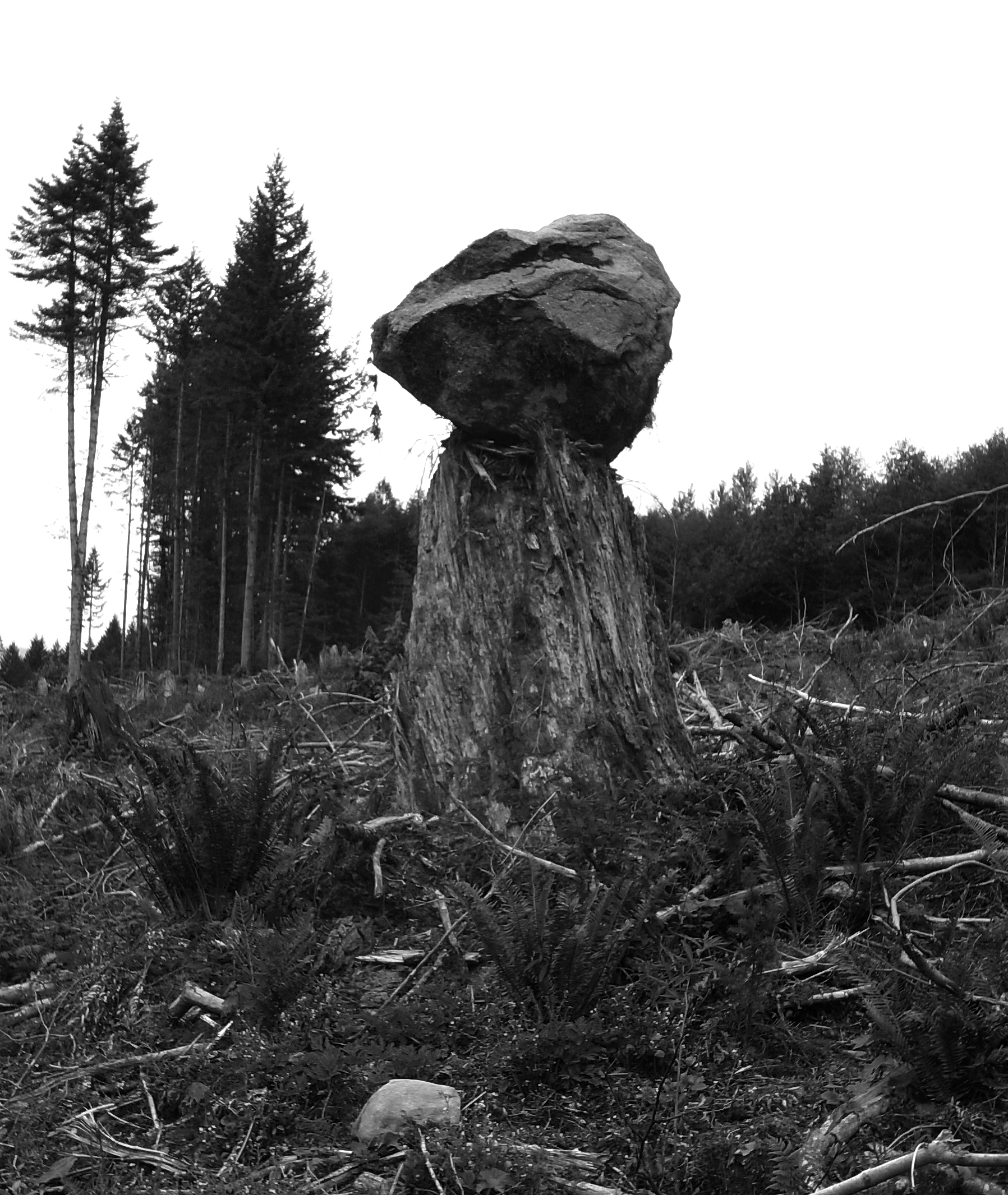 A tree stump with a large rock over it in a clear cut area
