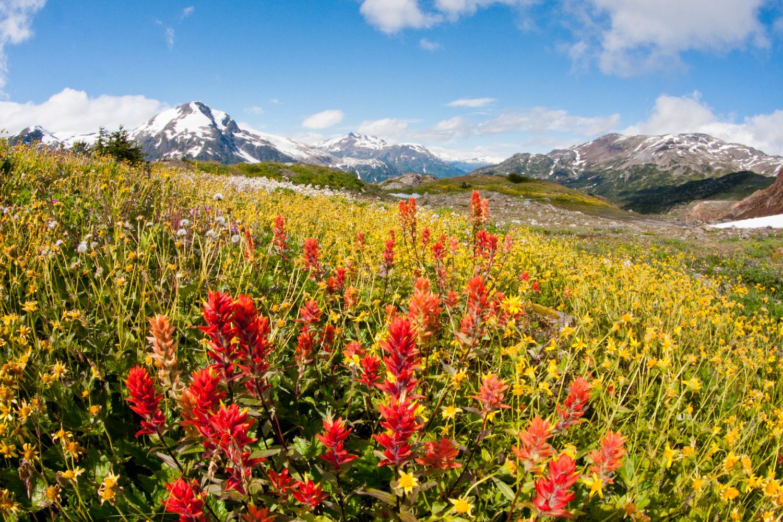 Alpine Wildflowers, Stewart, BC.