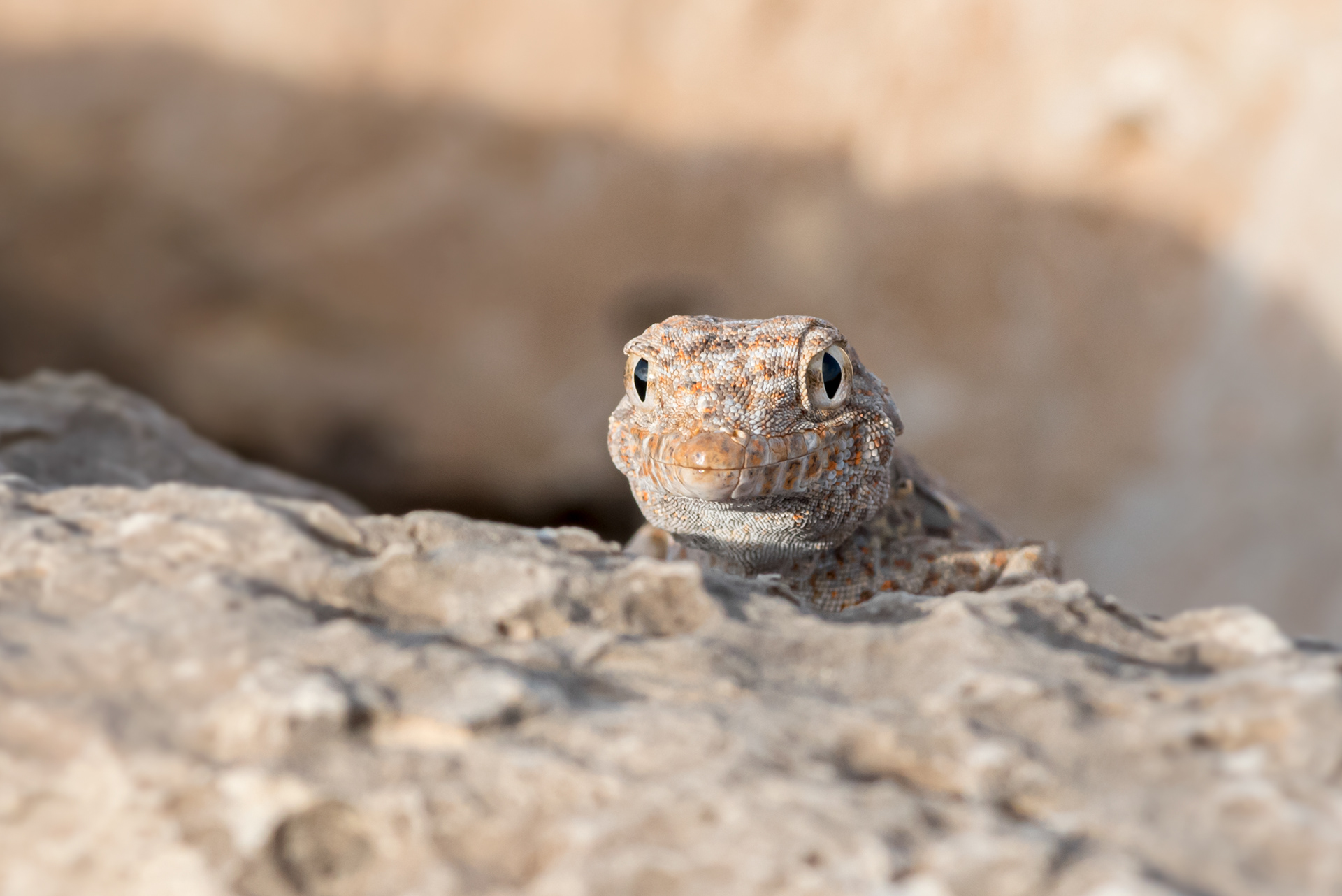 Rock semaphore gecko - Reptile of the Middle East