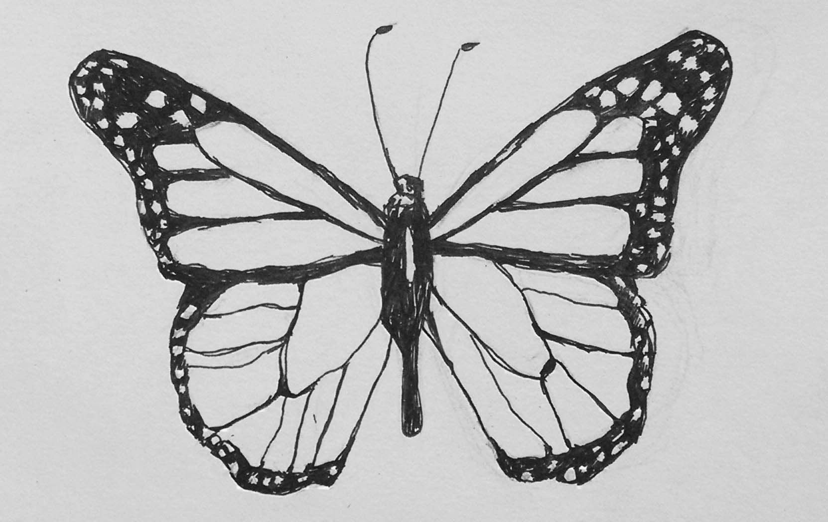vanessa butterfly drawing images - HD1662×1048