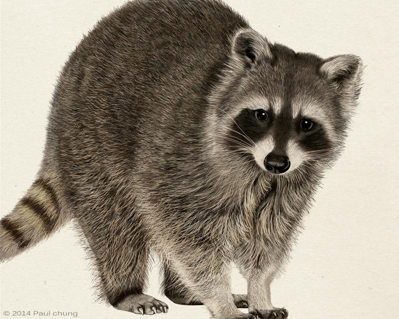 Raccoon: Digital Drawing on Behance Raccoon Drawing