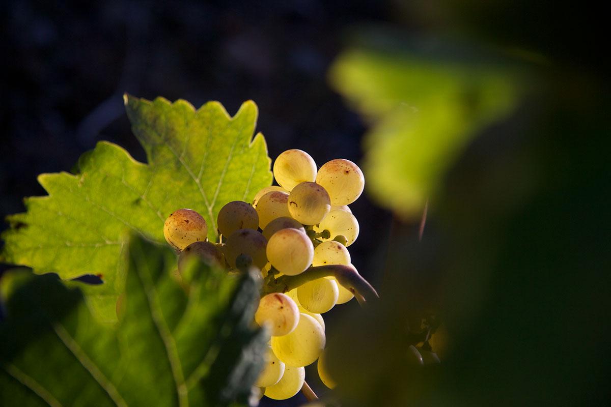 wine Vineyards Switzerland grapes wineleaves