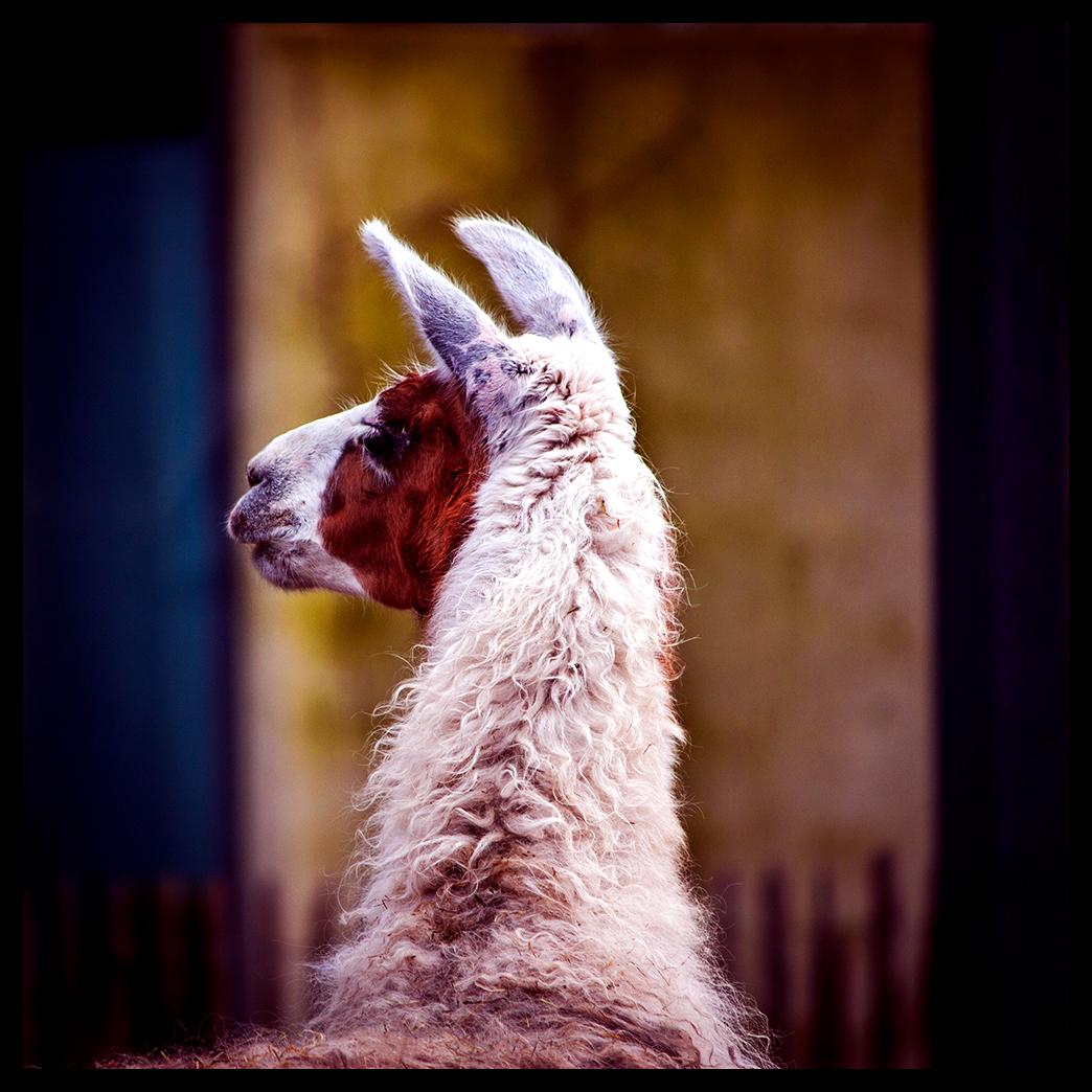 animal portraits color photo black White
