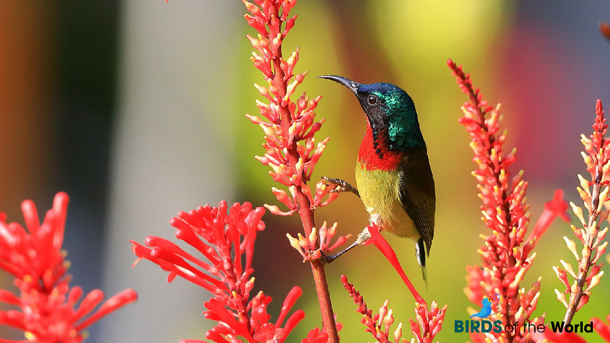 fork-tailed sunbird is about 8~10 cm long, very little bigger than the green pecker