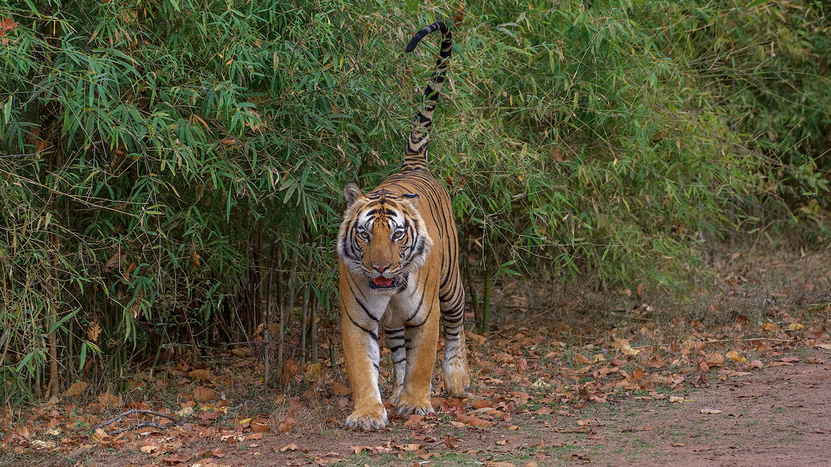Image may contain: outdoor, tiger and animal