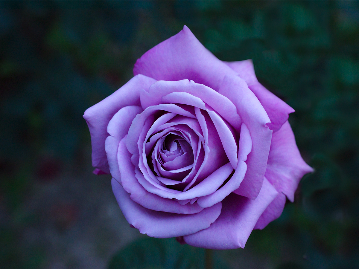 The Most Beautiful Roses And Other Flowers On Behance