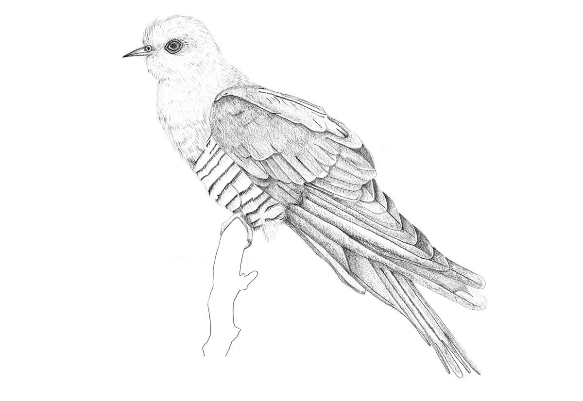 рисунок карандашом кукушка картинки фотоальбоме