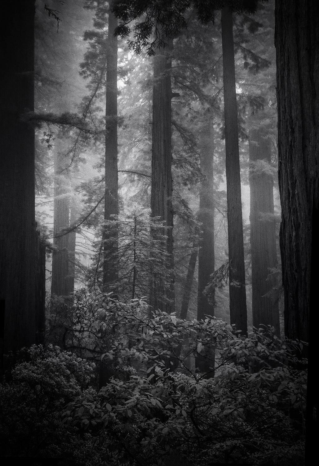 redwoods trees fog mist leaves light black and white infrared IR