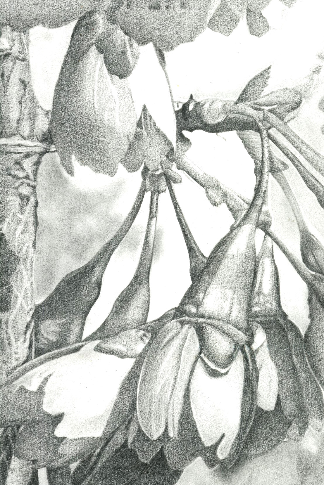 ROSACEAE Graphite Pencil Drawing on Behance