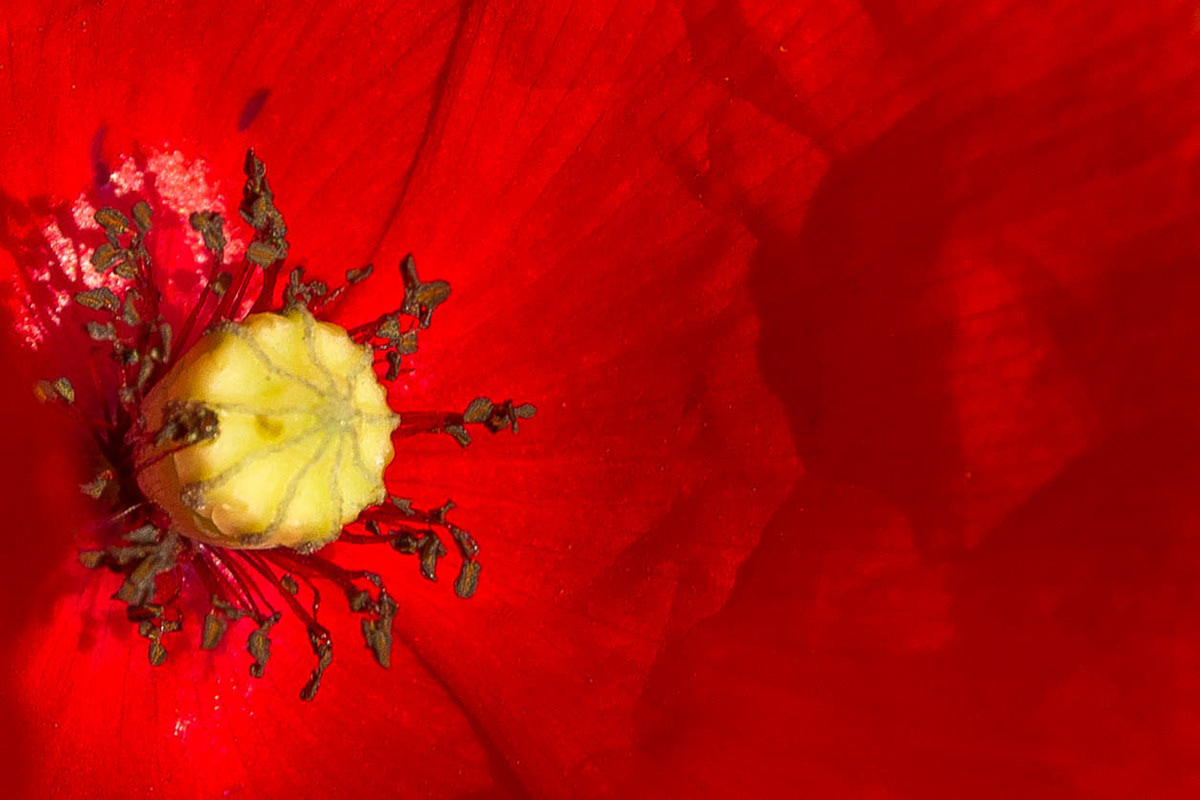 Image may contain: flower, poppy and red