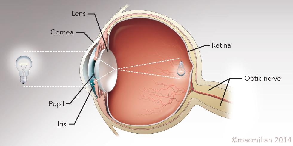 Evelyn Pence - Sensory Organs: Eye, Ear