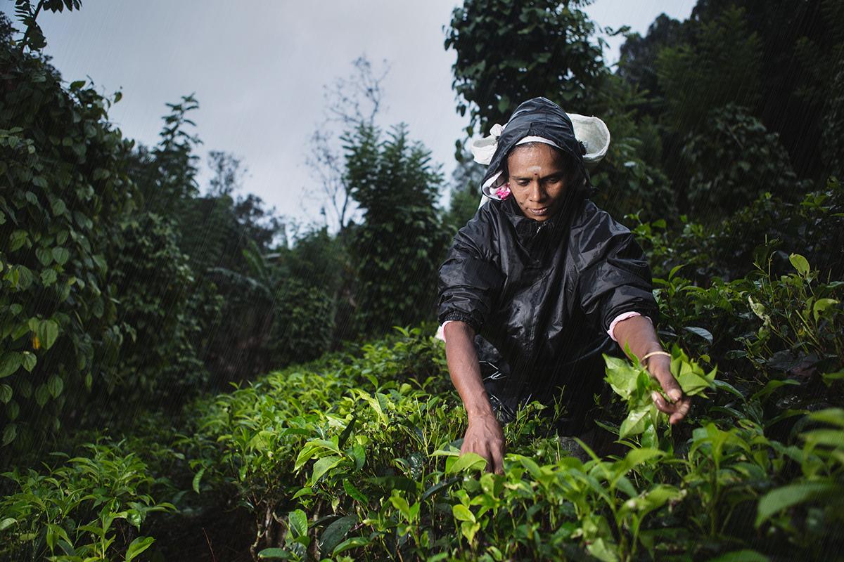 reportage Documentary  storytelling   portraits portrait strobist profoto Travel discovery Sri lanka tea Ceylon pluckers