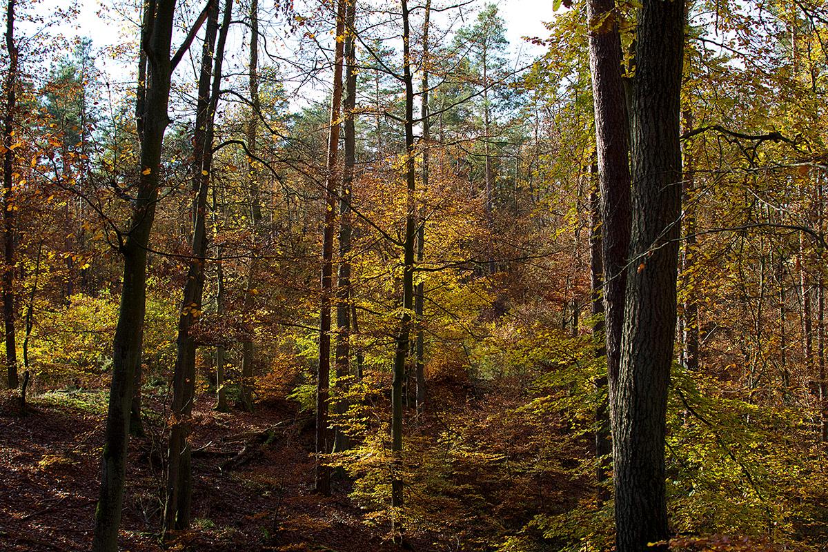 Kolorowe jesienne buki w lesie.