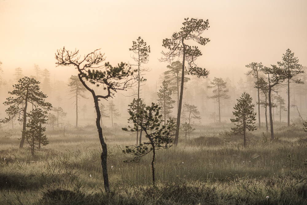 Landscape trees forest mist fog finland yellow