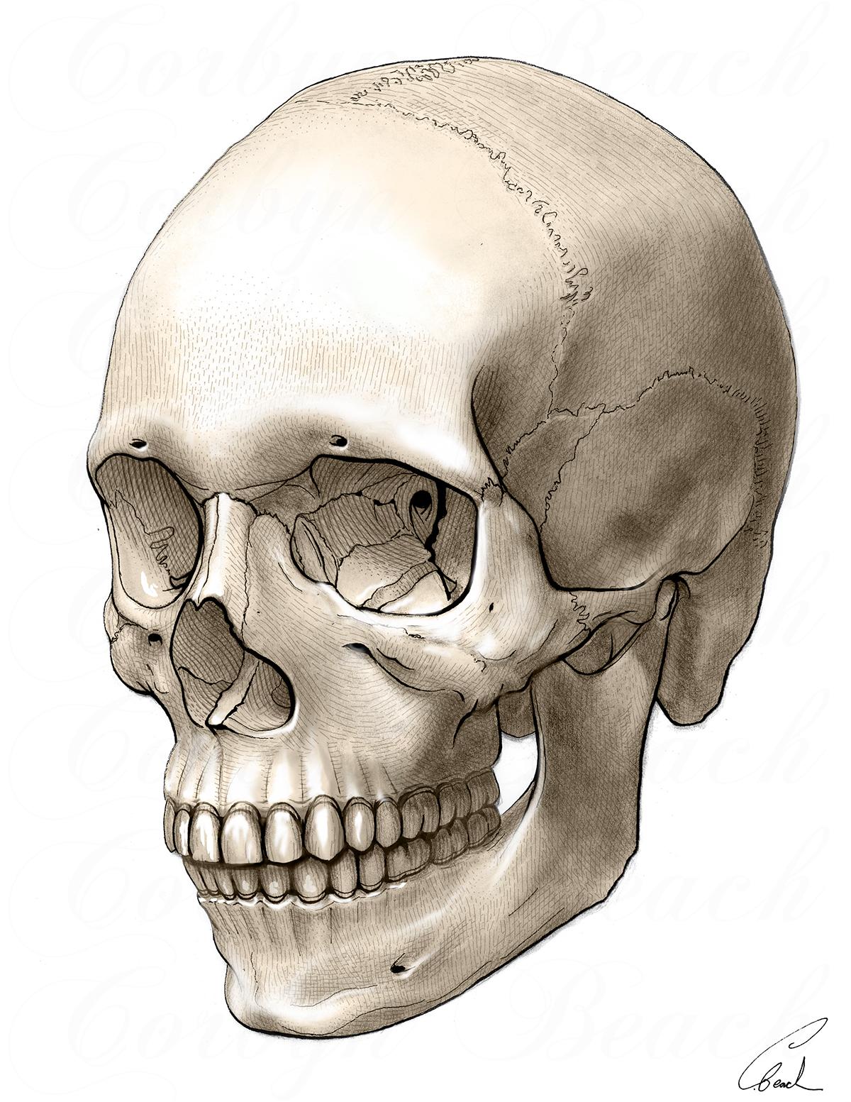 designer fashion 4b594 317a5 Human skull on Behance