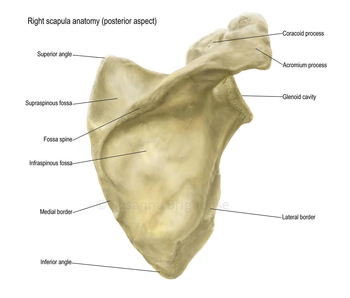 Scapula Anatomy on Behance