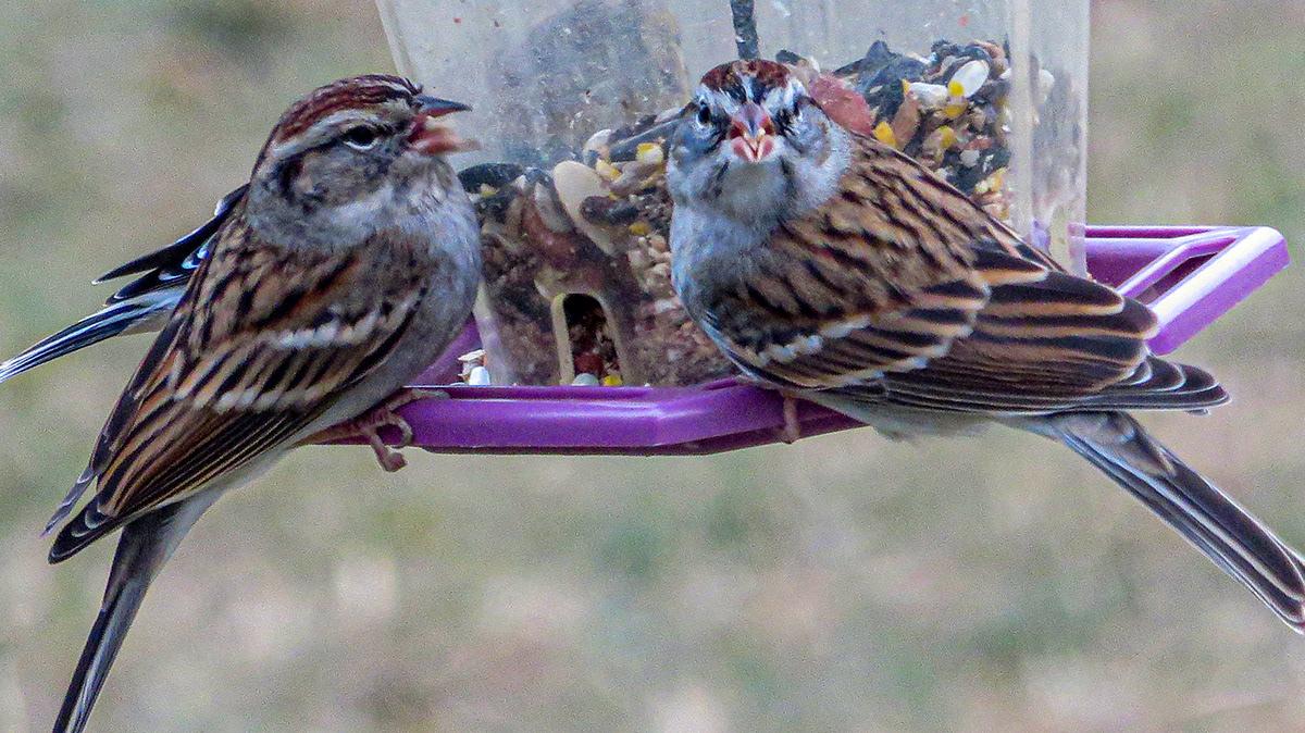 birds retouching  Photography  goldfinch sparrow cardinal dove Wild Turkey Turkey