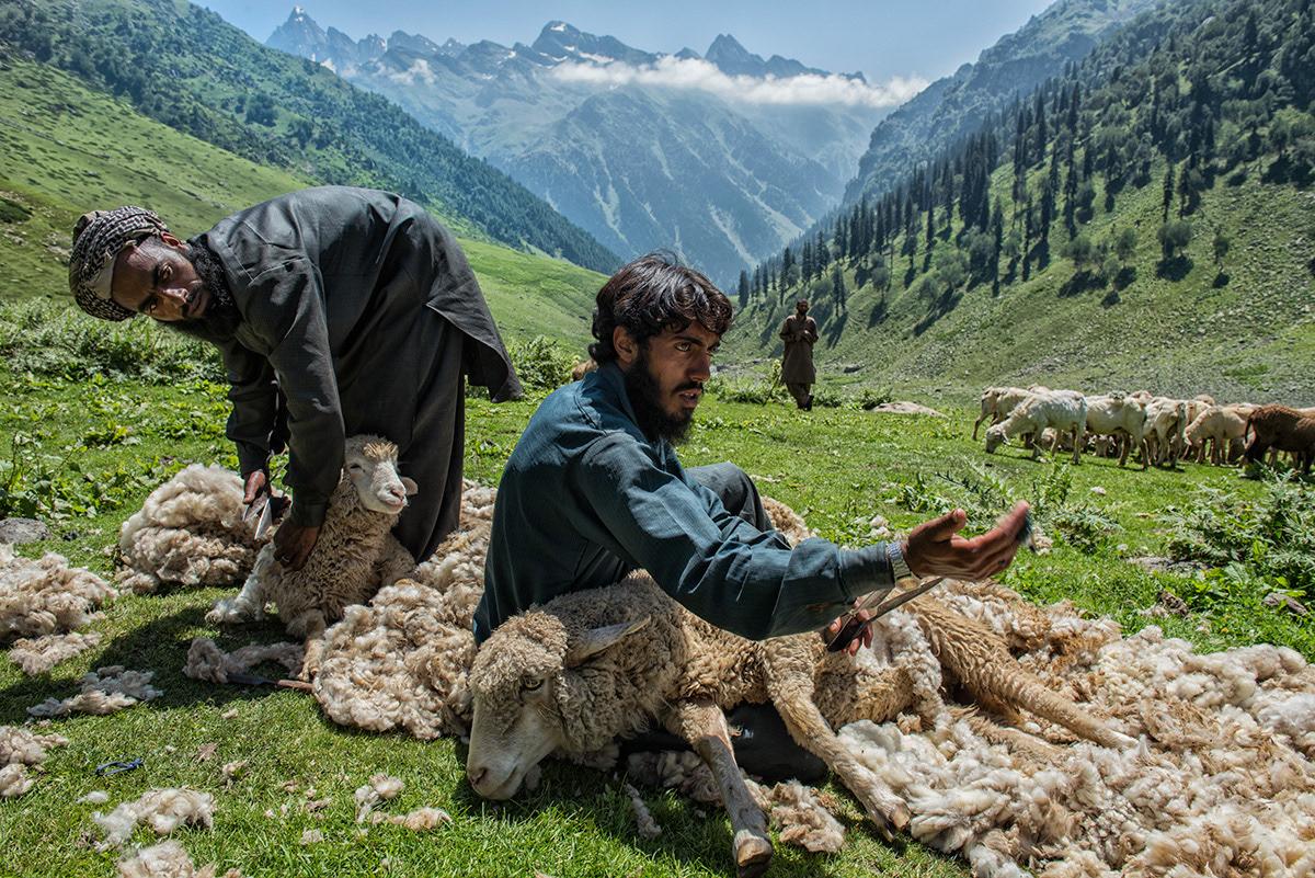 Bakarwal shepherds shear sheep in early summer in Kashmir, India