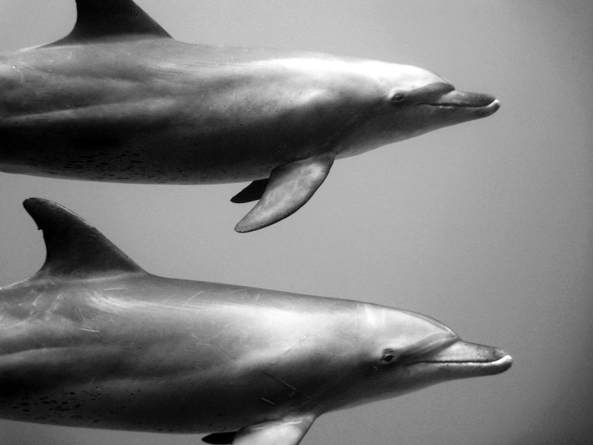 underwater Canon 5D Nauticam housing Ocean shark sharks dolphin freediving diving pelagic sea 1dX