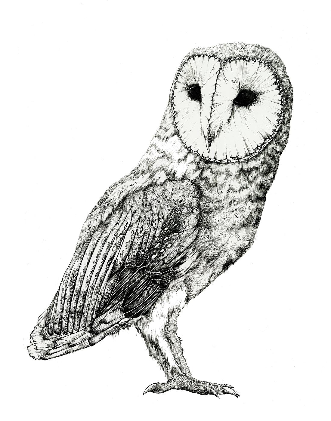 Barn Owl - Pen and Ink Study on Behance