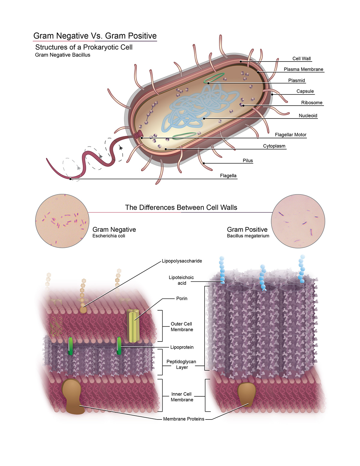 Structures Of A Prokaryotic Cell Gram Neg Vs Pos On Behance