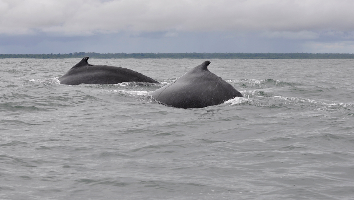 Ocean whales colombia humpback whales pacific ocean migration