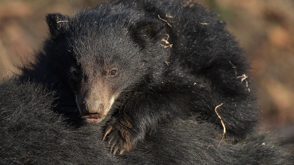 Image may contain: animal, bear and black
